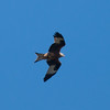 Red Kite, Milvus milvus 8447