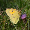 Clouded Yellow, Colias croceus 6682