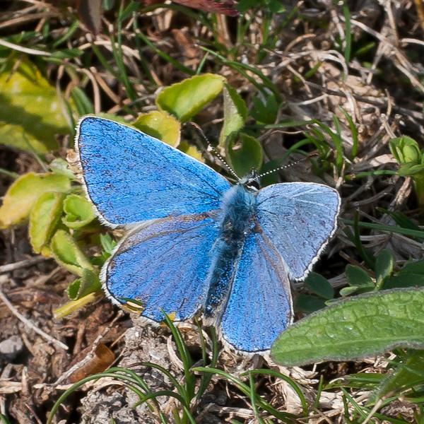 Adonis Blue, Lysandra bellargus, male 6703