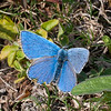Adonis Blue, Lysandra bellargus, male 6703