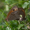 Meadow Brown, Maniola jurtina 6677