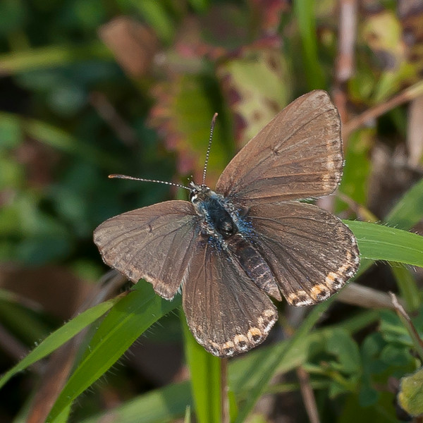 Adonis Blue, Lysandra bellargus, female 6718