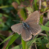 Adonis Blue, Lysandra bellargus, female 6718