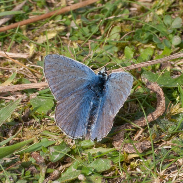 Common Blue, Polyommatus icarus 6582