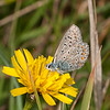 Common Blue, Polyommatus icarus 6587
