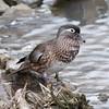 Wood Duck, Aix sponsa 0920