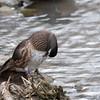 Wood Duck, Aix sponsa 0916