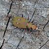 Green Tiger Beetle, Cicindela campestris 9648