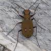 Green Tiger Beetle, Cicindela campestris 9728