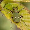 Green Tiger Beetle, Cicindela campestris P1190329