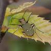 Green Tiger Beetle, Cicindela campestris 9677