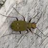 Green Tiger Beetle, Cicindela campestris P1190346