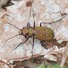 Green Tiger Beetle, Cicindela campestris 9617