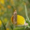 micro moth noid 0976