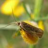 micro moth noid 0987