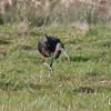Glossy Ibis, Plegadis falcinellus 4422