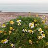 Sea Mayweed, Tripleurospermum maritimum 4426