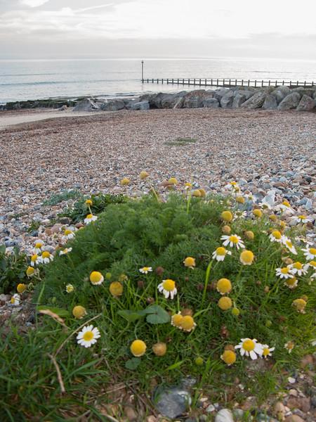 Sea Mayweed, Tripleurospermum maritimum 4430