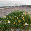 Sea Mayweed, Tripleurospermum maritimum 4431