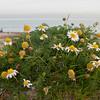 Sea Mayweed, Tripleurospermum maritimum 4427