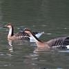 Swan Goose, Anser cygnoides 5391