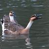 Swan Goose, Anser cygnoides 5405
