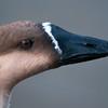 Swan Goose, Anser cygnoides 5424