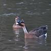 Swan Goose, Anser cygnoides 5401