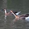 Swan Goose, Anser cygnoides 5393