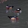 Wood Ducks, Aix sponsa and Hooded Merganser, Lophodytes cucullatus 8505