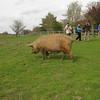 Tamworth Pig, Sus scrofa domesticus 0588
