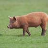 Tamworth Pig, Sus scrofa domesticus 6449