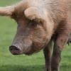 Tamworth Pig, Sus scrofa domesticus 6443