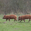 Tamworth Pig, Sus scrofa domesticus 6417