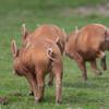 Tamworth Pig, Sus scrofa domesticus 6469