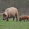 Tamworth Pig, Sus scrofa domesticus 6419