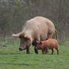 Tamworth Pig, Sus scrofa domesticus 6420