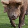Tamworth Pig, Sus scrofa domesticus 6444
