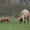 Tamworth Pig, Sus scrofa domesticus 6425