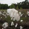Common Cottongrass, Eriophorum angustifolium IMG_2642
