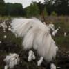 Common Cottongrass, Eriophorum angustifolium IMG_2641