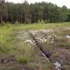 Common Cottongrass, Eriophorum angustifolium IMG_2635