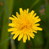 Rough Hawkbit, Leontodon hispidus DSC_9598