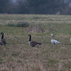 Canada Geese, Branta canadensis & Bar-headed Goose, Anser indicus 7105