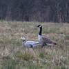 Canada Goose, Branta canadensis & Bar-headed Goose, Anser indicus 7134