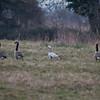 Canada Geese, Branta canadensis & Bar-headed Goose, Anser indicus 7117