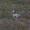 Bar-headed Goose, Anser indicus 7111