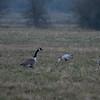 Canada Geese, Branta canadensis & Bar-headed Goose, Anser indicus 7162