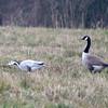 Canada Goose, Branta canadensis & Bar-headed Goose, Anser indicus 7131