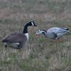 Canada Goose, Branta canadensis & Bar-headed Goose, Anser indicus 7166